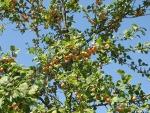 fruitboom-in-de-zomer-mirabelles.jpg