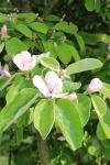 boomgaard--kweeappel-bloesem.jpg