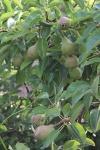 boomgaard-peren.jpg