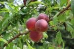 boomgaard-perzikboom.jpg