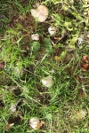 grasland-eetbare-paddestoel-les-roses.jpg