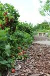 tuin-aarbeien-en-rode-aalbes.jpg