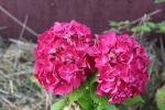 tuin-hortensia.jpg